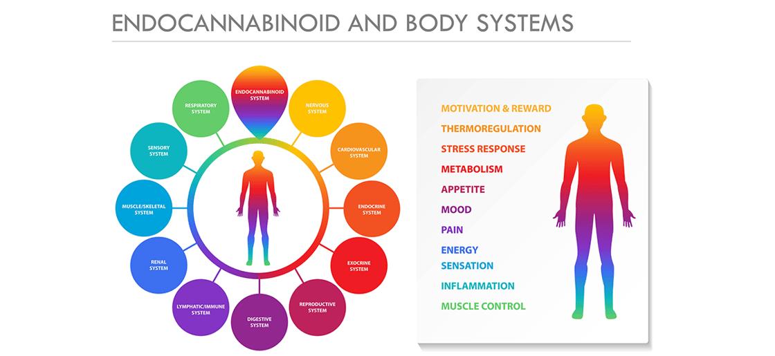 Lundquist-Endocannabinoid-header